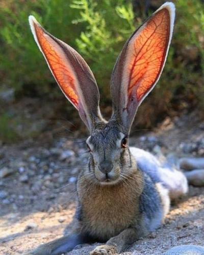les grandes oreilles nous espionnent.jpg