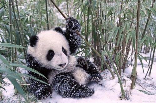 coucou panda.jpg